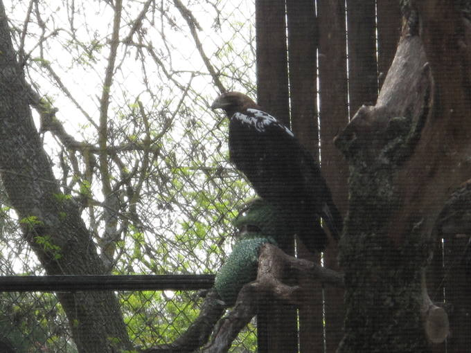 http://www.rtve.es/imagenes/aguilas-imperiales-presentadas-esta-manana-zoo-madrid/1271760813205.jpg