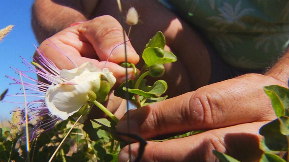 Aquí la tierra - Alcaparra, reliquia vegetal