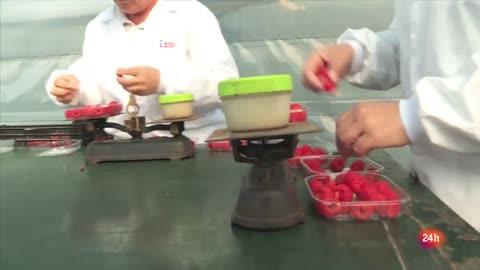 Repor - En el corazón de la fresa: Antonio Rodríguez es responsable de una explotación de frambuesas