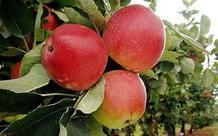 Aspecto de la manzana RS103-130, 'la mejor manzana del mundo'