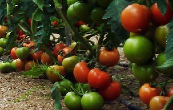 Comando Actualidad - Aquí hay mucho tomate