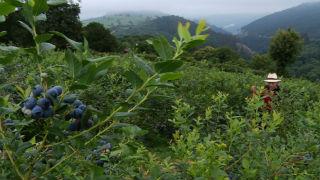 Aquí la tierra - Arándanos, joya para la salud