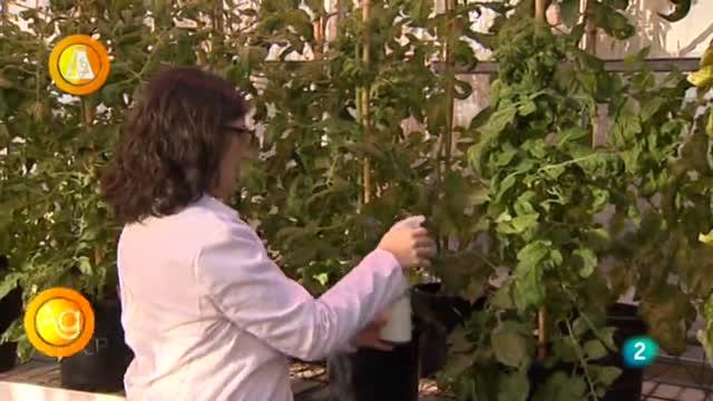 Laboratorio de ideas, aroma del tomate