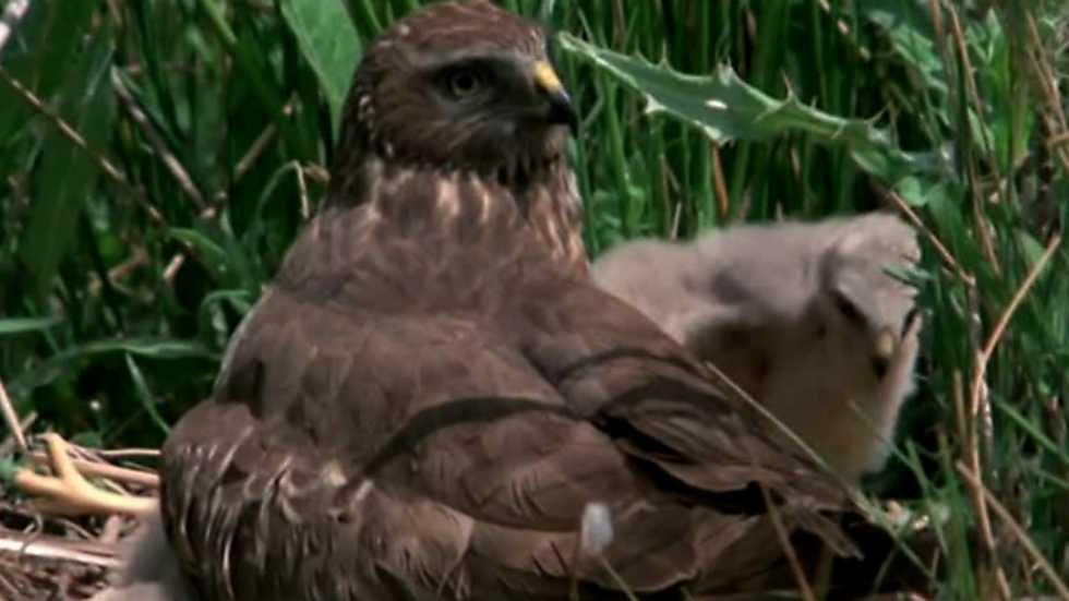 El hombre y la Tierra (Fauna ibérica) - Las aves esteparias 2