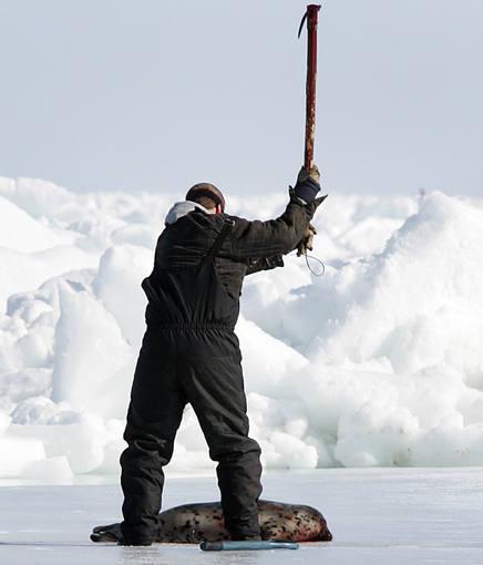 La captura de una foca en Canadá