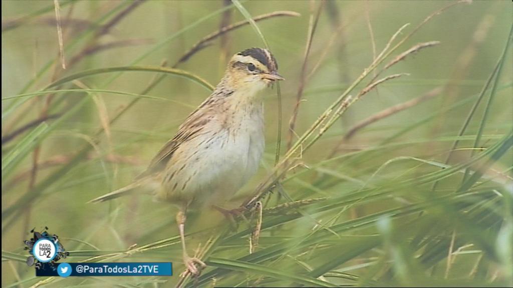 Para Todos La 2 - Reportaje sobre el carricerín cejudo es una de las aves más amenazadas de Europa
