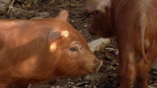 Aquí La tierra - Cerdos rubios de raza pura
