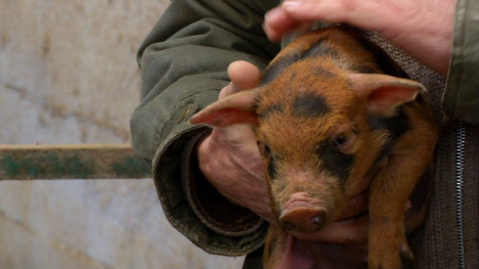 Aquí la tierra - Cerdos únicos