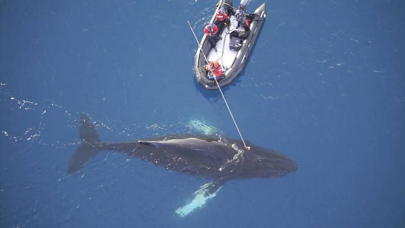 Científicos colocan un dispositivo digital no invasor en una ballena en la Antártida, el pasado mes de marzo.