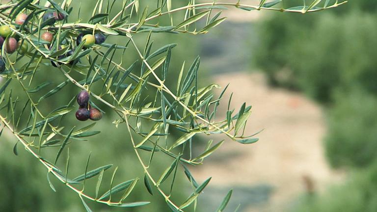 Fabricando Made in Spain - ¿Cómo se elabora el aceite de oliva?