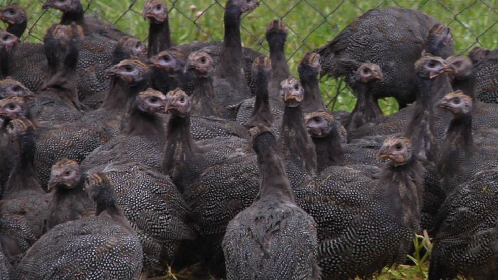 Aquí la tierra - ¿Conoces a las gallinas de Guinea?