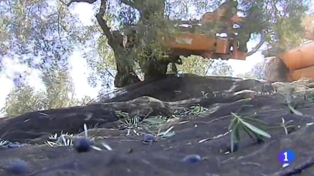 La  cosecha de la aceituna se ha adelantado este año por la sequía