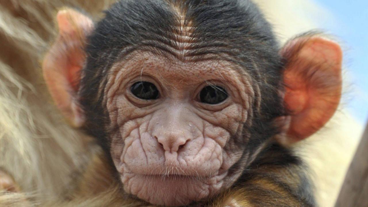 Una cria de mono de Berbería (Macaca sylvanus).