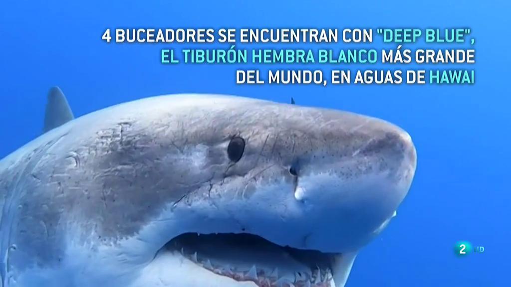 Deep Blue, la tiburón blanca