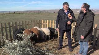 Aquí la tierra - ¿De dónde viene el cerdo mangalica?