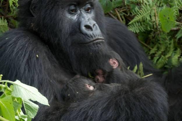Los dos pequeños gemelos descansan en el regazo de su madre