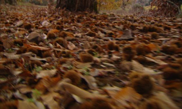 Erizos y castañas en el suelo