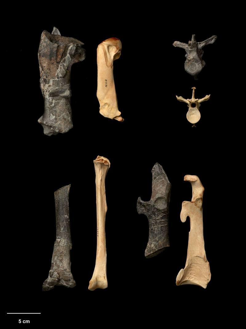 Una especie gigante de pingüinos habitó Nueva Zelanda hace entre 55 y 60 millones de años.