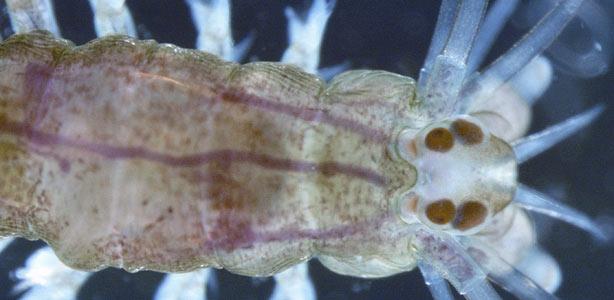 Gusanos marinos con un cerebro humano 1283521953105