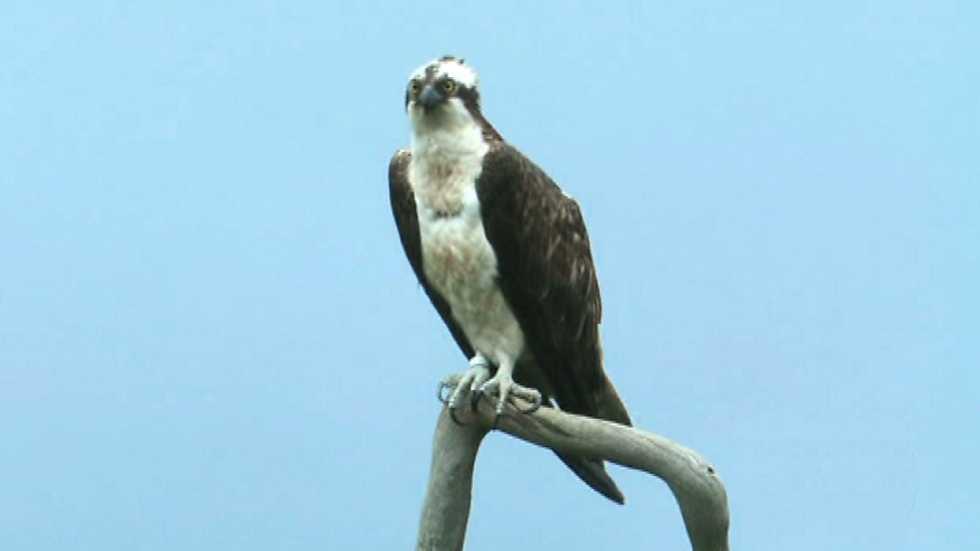 El bosque protector - Fauna amenazada: Águila pescadora