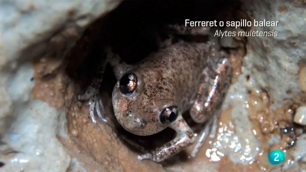 ¡Qué animal! - En Mallorca descubrimos el ferreret, uno de los anfibios más pequeños del mundo