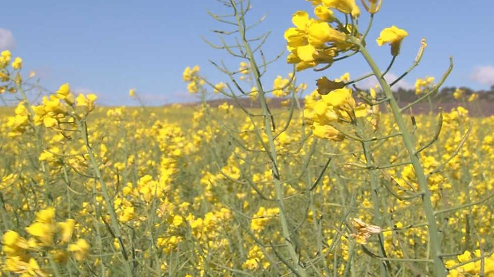 Comando actualidad - De flores y colza