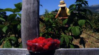Aquí La Tierra - Los frutos del bosque... ¿son siempre rojos?