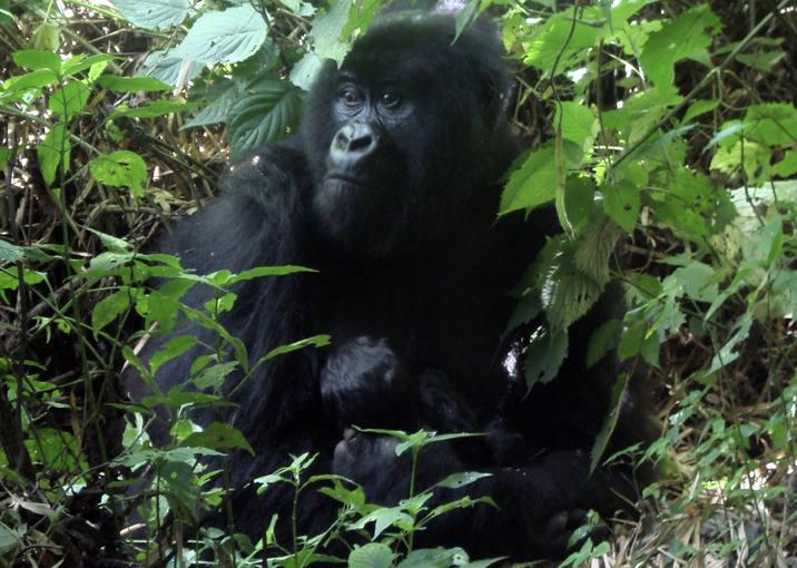 Un gorila del Parque Nacional de Virunga en el Congo. El gorila es  uno de los grandes simios, junto a chimpacés, bonobos y orangutanes,  que protege el Proyecto Gran Simio.