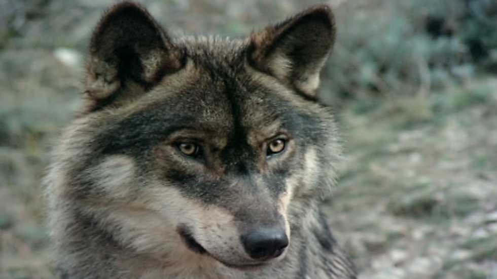 El hombre y la Tierra (Fauna ibérica) - El hombre y el lobo