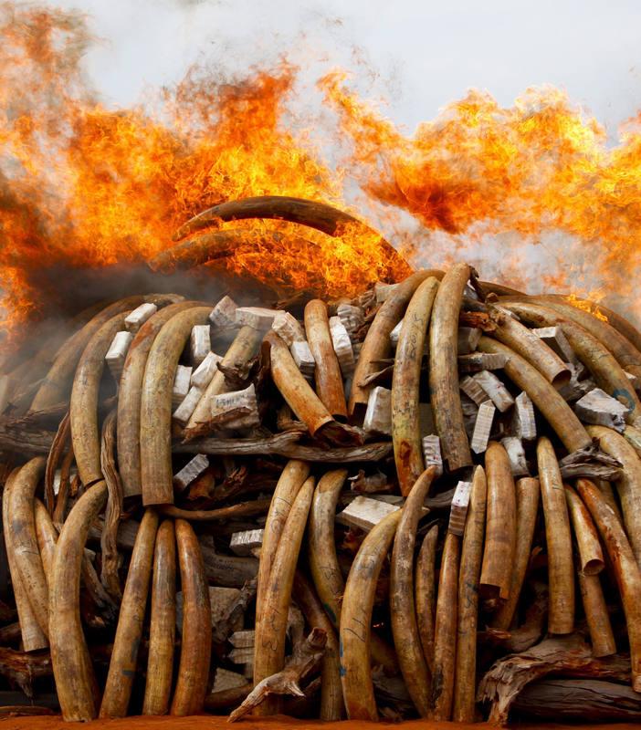 Imagen de una pila de colmillos de elefante devorada por el fuego, en Kenia, para luchar contra el tráfico de marfil.