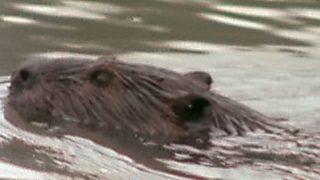 El hombre y la Tierra (Serie canadiense) - El lago de los castores