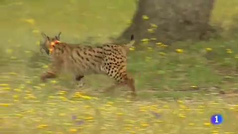 El lince ibérico, una especie que ya no está en peligro crítico gracias a los trabajos de conservación