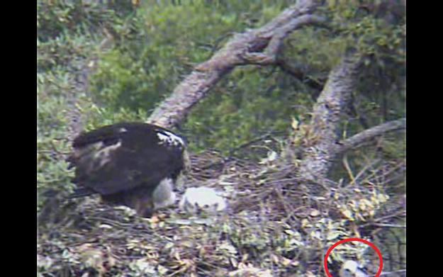 La madre se percata de que uno de los polluelos está fuera del nido
