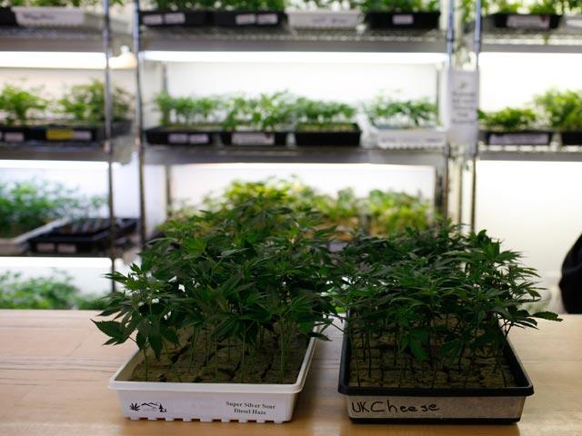 La ciudad estadounidense de Oakland aprueba la producción a gran escala de marihuana