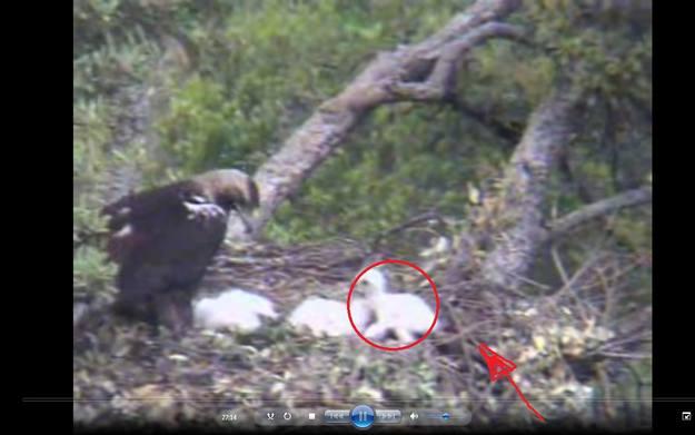 Momento en el que la hembra consigue rescatar al polluelo que había sido expulsado