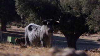 Aquí la tierra - La morucha, una vaca temperamental