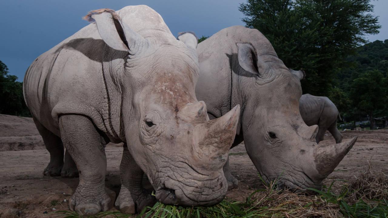 Muchos zoológicos tienen que contratar protección privada sólo para vigilar a sus rinocerontes.