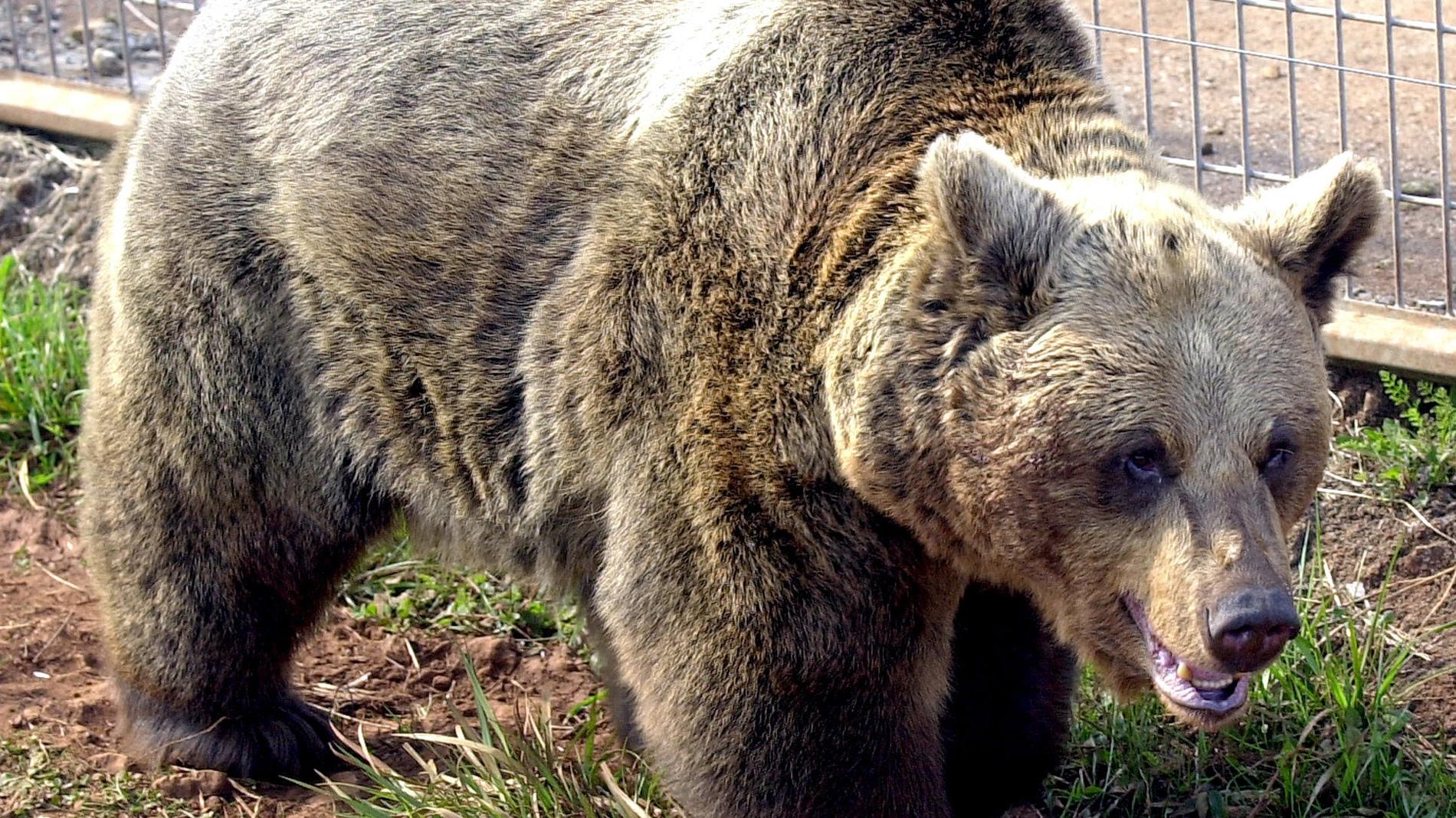 Muere la osa Tola, símbolo de la recuperación del oso pardo en España