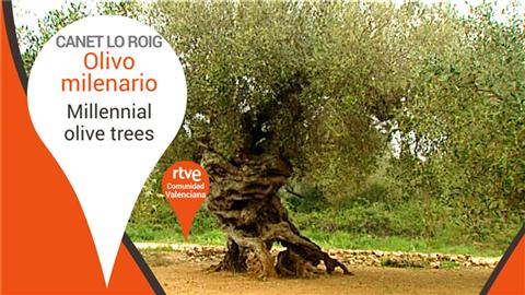 Olivo milenario - Canet lo Roig, Valencia - Millennial olive trees