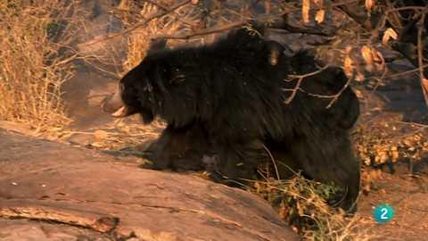 Grandes documentales - El oso del Libro de la selva