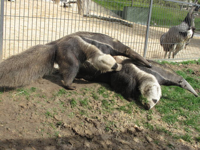http://www.rtve.es/imagenes/oso-hormiguero-uno-ejemplares-mas-singulares-fauna-animal/1271760813503.jpg