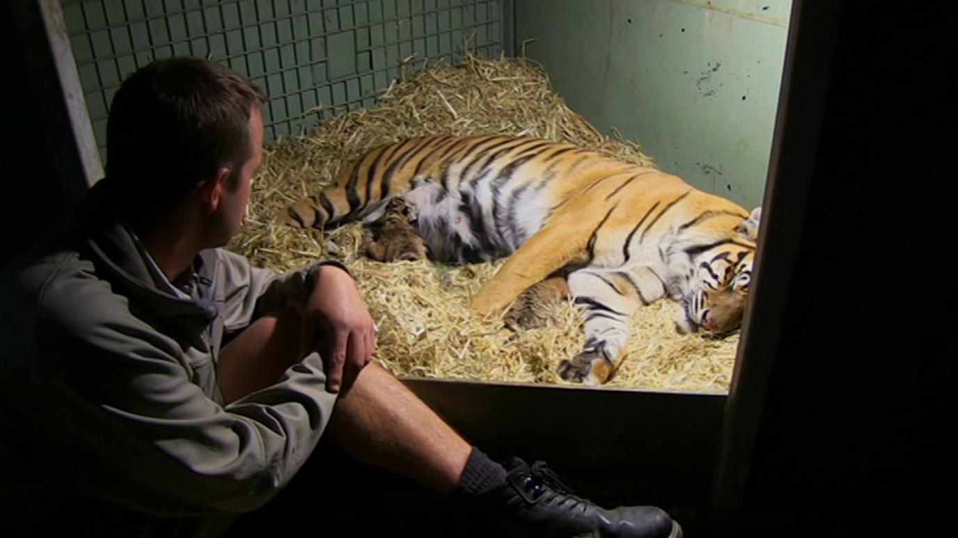 Tigres en casa