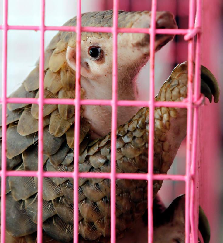 El pangolín es el mamífero con el que más se trafica: 100.00 ejemplares al año.