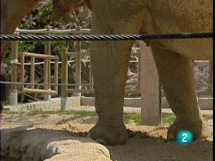 Ver vídeo  'El peor enemigo de los elefantes son las avispas y abejas'