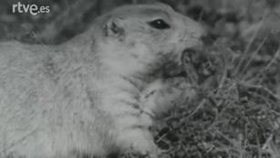 Fauna - El perrito de las praderas