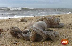 Cientos de pulpos aparecen muertos en una playa cercana a Oporto