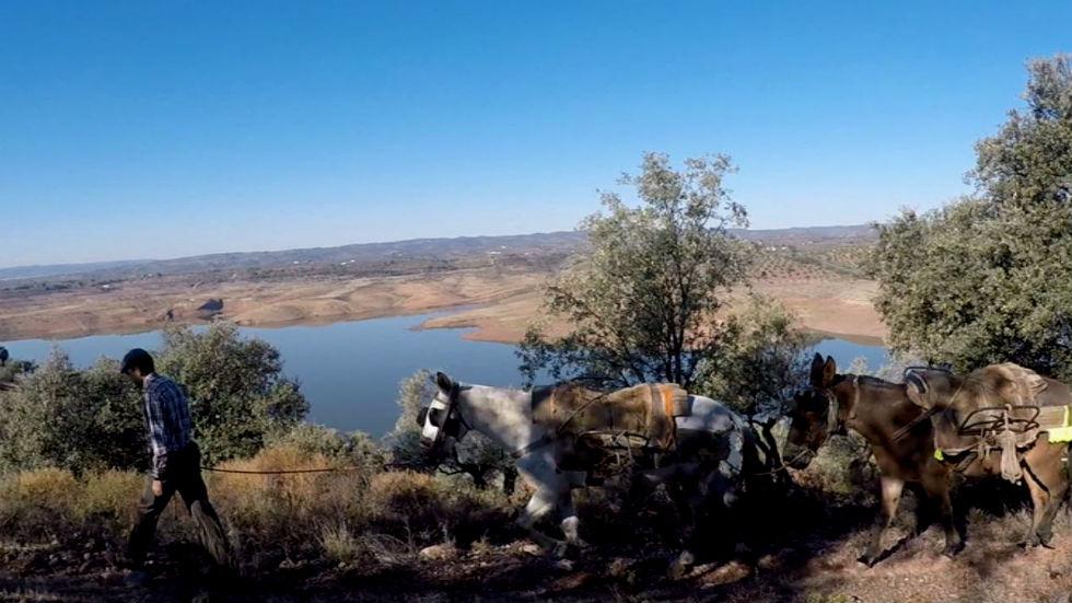 Aquí la tierra - La recogida de la aceituna en escarpados olivares