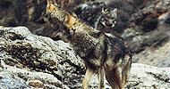 Rodaje de lobos para Serie Ibérica