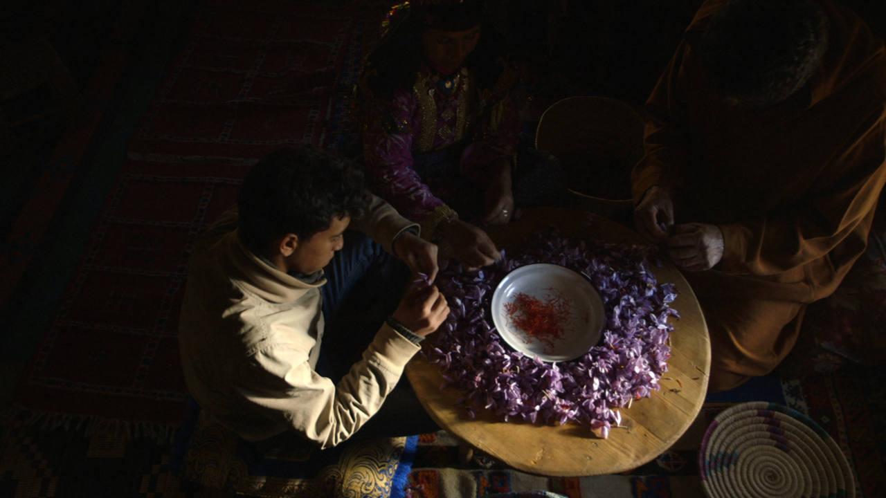 Selección de flores de azafrán para la elaboración de perfumes.