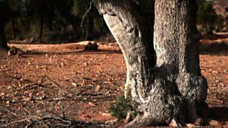 El bosque protector - Tetraclinis: los últimos ejemplares